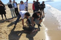 DENİZ KAPLUMBAĞALARI - Başından Vurulan 'Dilek' Denize Bırakıldı