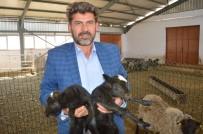 KADİR ÇELİK - Ukrayna'dan Getirdiği Koyunlar Yılda 8 Yavru Veriyor