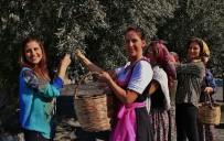 ÖNDER COŞĞUN - Gömeç'te '3. Geleneksel Gömeç Zeytin Hasat Şenliği' Coşkusu