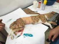 Yavruları Anne Karnında Ölen Kedi Sezeryan İle Kurtarıldı