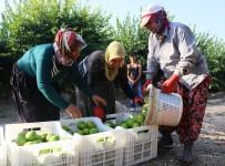HAVUTLU - Adana'da Portakal Hasadı Başladı