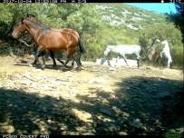 GÜZELÇAMLı - Aydın'da Yılkı Atları Fotokapanla Görüntülendi