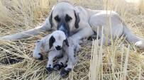ÇOBAN KÖPEĞİ - Çoban Köpeğinden Vefa Örneği