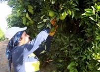 HAVUTLU - Erkenci portakal daldan indi