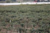 SUBAŞı - Kivi Üretiminde Rekor Bekleniyor