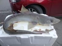 KÖPEK BALIĞI - Marmara Denizi'nde Yavru Köpek Balığı Yakalandı