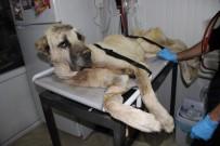HAYVAN SEVERLER - Yaralı Kangal İçin Bir Çok Ülkeden Yardım Teklifi
