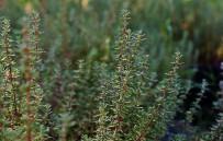 SAÇ DÖKÜLMESI - 'Şifa Kaynağı Kekik, Zeytin Bahçelerine De Mutlaka Ekilmeli'