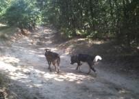 YABAN DOMUZU - Silivri'de Atları Yiyen Kurt Değil Köpekmiş