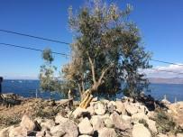 BADEMLI - Asırlık Zeytin Ağaçlarını Kepçelerle Parçaladılar İddiası