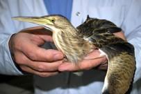 BALABAN - Yaralı Balaban Kuşu Tedavi Altına Alındı