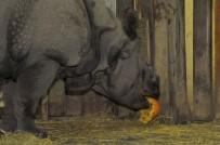 HAYVANAT BAHÇESİ - Hipopotam Jakub'un Cadılar Bayramı Keyfi