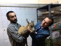 ALI HAYDAR - Vatandaşların Bulduğu Dağ Keçisi Tedavi Altına Alındı