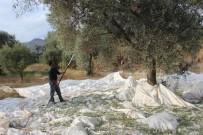 UMUTLU - Yağışların Ardından Zeytin Hasadı Başladı
