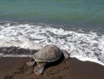 TUZ GÖLÜ - Bakanlık 150 deniz kaplumbağasını hayata döndürdü
