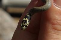 HABITAT - Bolkar Uysal Yılanı, Tarsus'ta Görüntülendi