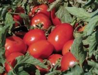 EKONOMİ BAKANI - Rusya'dan beklenen domates müjdesi geldi