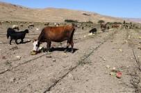BÜYÜKBAŞ HAYVANLAR - Muşta Karpuzlar Tarlada Kaldı Hayvanlara Yem Oldu