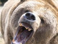 Bolu'da ayı dehşeti! 1 ölü