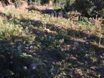 BEYTÜŞŞEBAP - Beytüşşebap'ta Kabak Hasadı Başladı