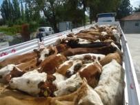 Genç Çiftçiler Büyükbaş Hayvanlarına Kavuşuyor