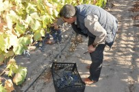 KİMYASAL GÜBRE - Manisa'nın Organik Üzümleri Pazardaki Yerlerini Aldı