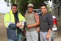 Milas'ta Yaralı Leylek Korumaya Alındı