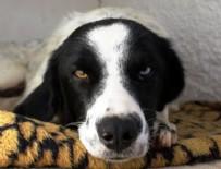 SOKAK KÖPEĞİ - Antalya'da köpeğe tecavüz iddiasında linç girişimi
