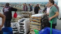 BALIK SEZONU - Karadenizli Balıkçılar Tek Seferde 600 Torik Yakaladı