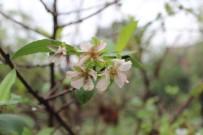 Vişne Ağacı Ekim Ayında Çiçek Açtı