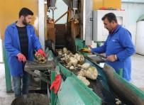 NİŞASTA BAZLI ŞEKER - Pancarın 'Tatlı' Yolculuğu Başladı