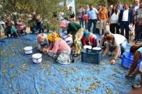 TÜRKIYE ZIRAAT ODALARı BIRLIĞI - Zeytin Toplayıcıları 'Altın' İçin Yarıştı
