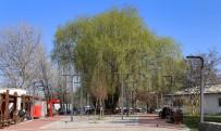 ÇUKURAMBAR - Çankaya Park, Uğur Mumcu Parkı Oluyor