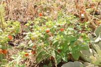 FAKÜLTE - Eczacılık Fakültesi Serasında Yüzden Fazla Tıbbi Bitki Yetiştiriliyor