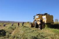 ALATOSUN - Karacadağ'da Pirinç Hasadı Başladı