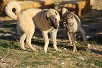 HÜSEYIN YıLDıZ - Kangal Köpekleri, Cumhurbaşkanlığı Külliyesinin Korunmasına Talip