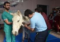 TUZ GÖLÜ - Silahla Vurularak Yaralanan At, Selçuk Üniversitesinde Rehabilite Ediliyor