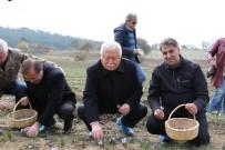 MUSTAFA ŞAHİN - Rektör Polat, Safran Hasadı Yaptı