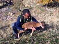 DAĞ KEÇİSİ - Yavru Dağ Keçisi, Doğal Ortamına Bırakıldı