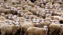 ZAFER ENGIN - Genç Çiftçilere Koyun Dağıtıldı
