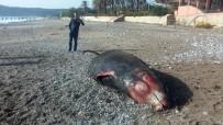 ÇAMYUVA - Kıyıya 5 Metrelik Ölü Balina Vurdu