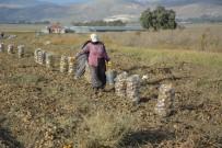 AHMET UYSAL - Patates Hasadı Sona Erdi