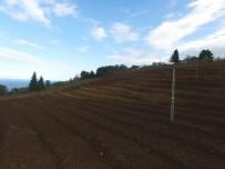 ALTINORDU - Fındık Bahçeleri Yenileniyor