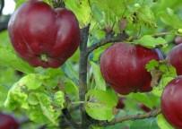 PARMAK - İçi Dışı Kırmızı Posof Elmasına Coğrafi İşaret Tescili
