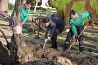 SERKAN ACAR - Zeytinli Park'a 100 Yıl Sonra İlk Zeytin Ağacı Dikildi
