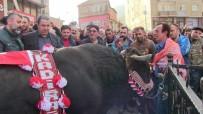 BOĞA GÜREŞİ - Adımlar Şampiyon Boğa İçin Atıldı