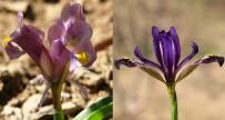 DERECIK - Hakkari'de İki Yeni Süsen Bitkisi Keşfedildi
