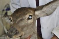 TıP FAKÜLTESI - Kızıl Geyiğe İkinci Katarak Ameliyatı