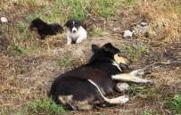 SOKAK KÖPEĞİ - 4 Köpek Zehirli Tavuk Etleriyle Katledildi