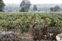 Kırağı Tarım Arazilerinde Etkili Oldu